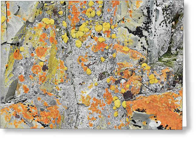 Xanthoria Lichen On A Rock Greeting Card by Dr P. Marazzi