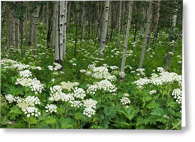 Yarrow And Aspen Trees Along Gothic Greeting Card