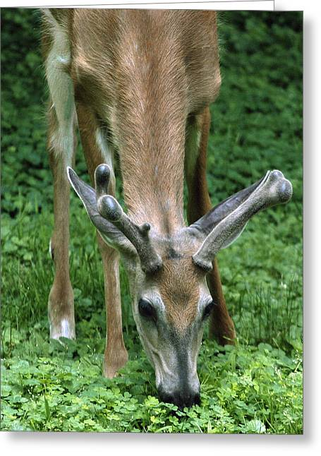 Yearling Buck In The Clover Greeting Card by Gene Walls
