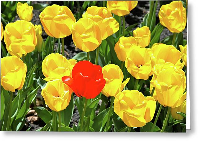 Yellow And One Red Tulip Greeting Card by Ed  Riche