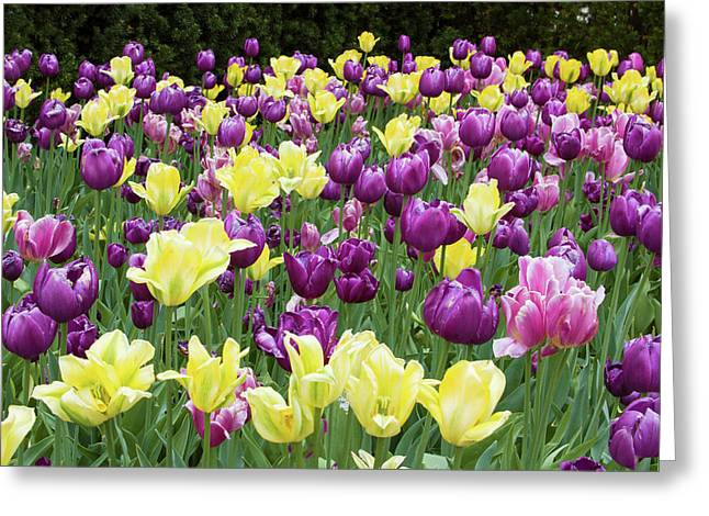 Yellow And Purple Tulips Blooming Greeting Card