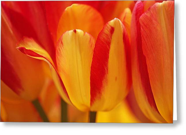 Yellow And Red Striped Tulips Greeting Card by Rona Black
