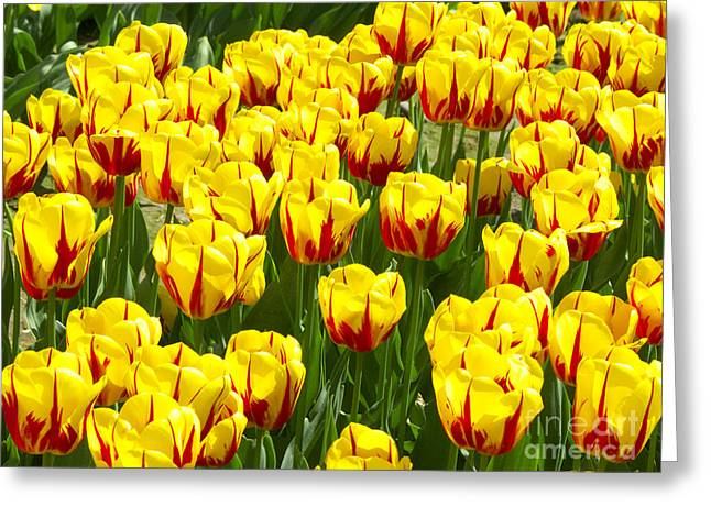Yellow And Red Tulips Greeting Card by Sharon Talson
