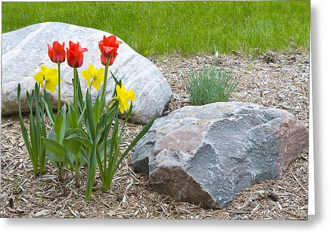 Yellow And Red Tulips With Two Rocks Greeting Card