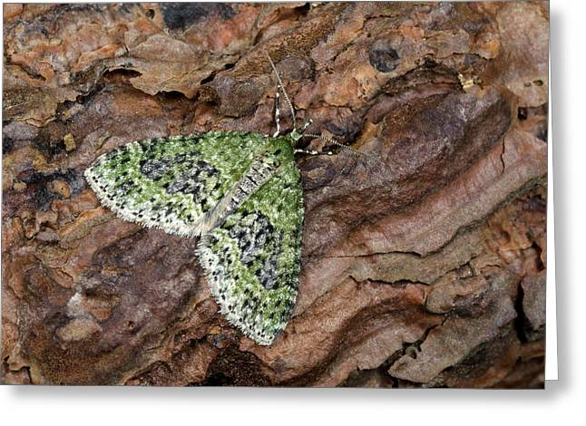 Yellow-barred Brindle Moth Greeting Card
