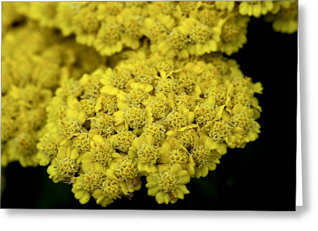 Yellow Beauties Greeting Card by John Holloway
