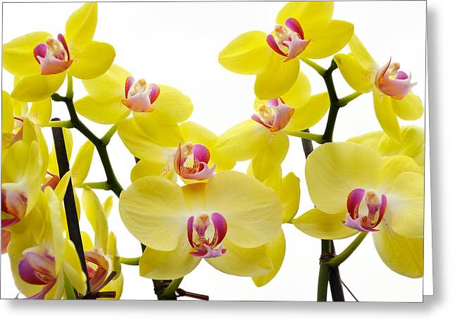Yellow Beauties Greeting Card