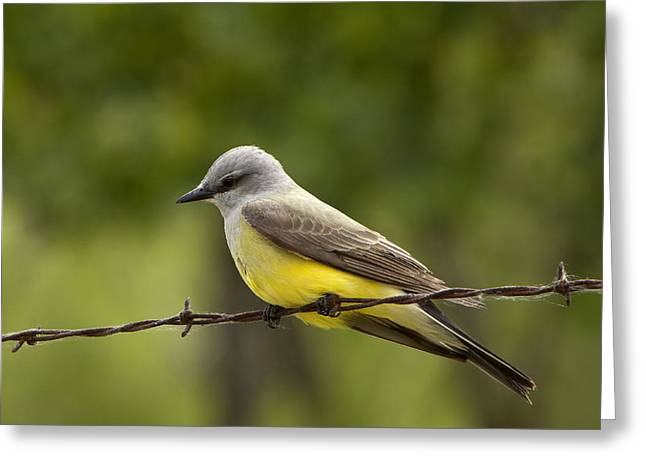Yellow-bellied Fence-sitter Greeting Card