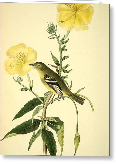 Yellow-bellied Flycatcher Greeting Card by Philip Ralley