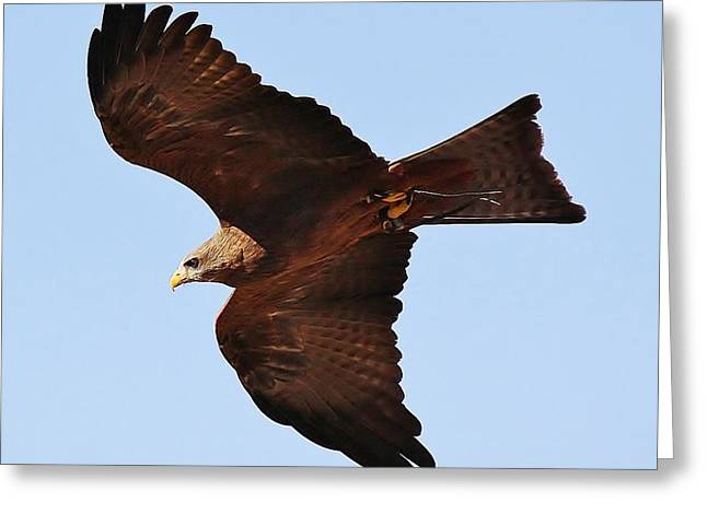 Yellow Billed Kite In Flight Greeting Card by Paulette Thomas