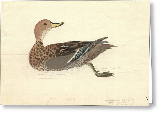 Yellow-billed Pintail Greeting Card by Natural History Museum, London