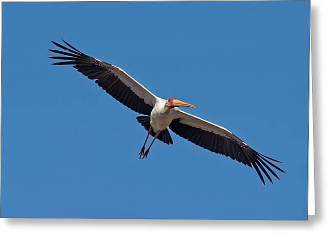 Yellow-billed Stork In Flight Greeting Card by Tony Camacho
