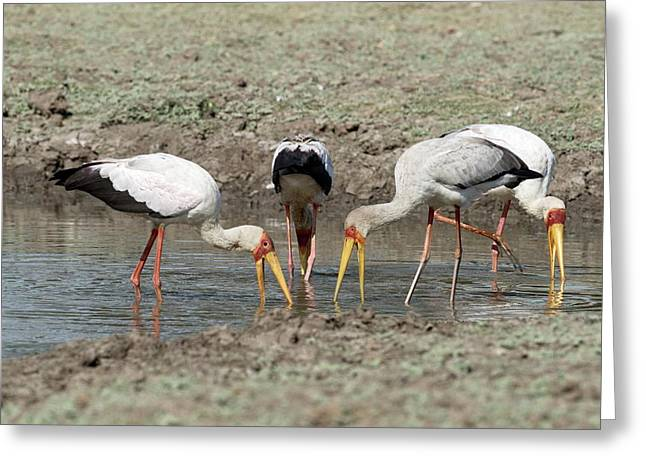 Yellow-billed Storks Foraging Together Greeting Card