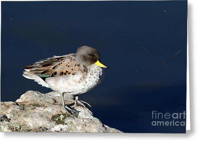 Yellow Billed Teal On Rock Greeting Card by James Brunker