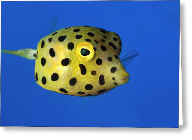 Yellow Boxfish Greeting Card