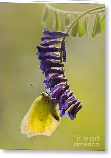 Yellow Buttefly On Violet Hanging Flowers Greeting Card