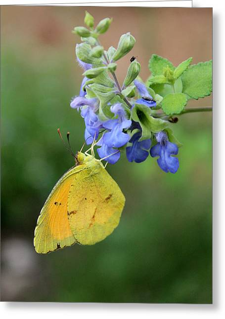 Yellow Butterfly On Blue Sage Greeting Card by Susan Schroeder