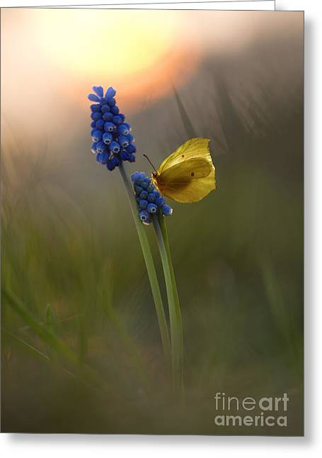 Yellow Butterfly On Grape Hyacinths Greeting Card by Jaroslaw Blaminsky