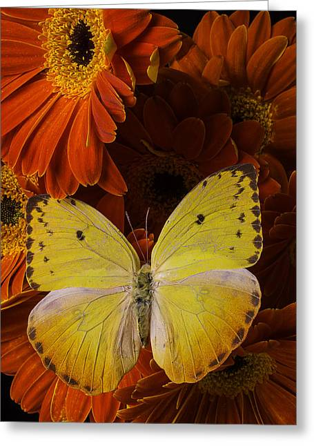 Yellow Butterfly On Orange Daisies  Greeting Card by Garry Gay