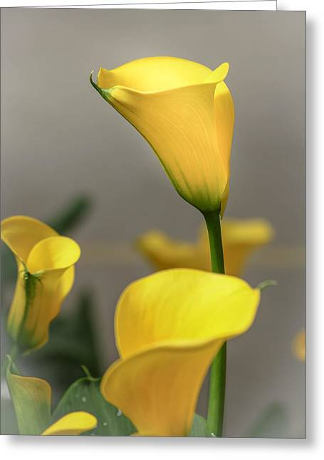 Yellow Calla Lilies Greeting Card by Menachem Ganon