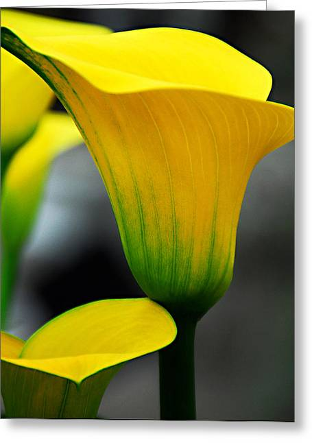 Yellow Calla Lily Greeting Card by JoAnn Lense