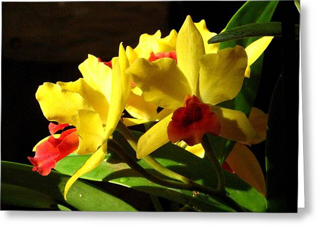Yellow Cattleya Orchid Greeting Card by Alfred Ng