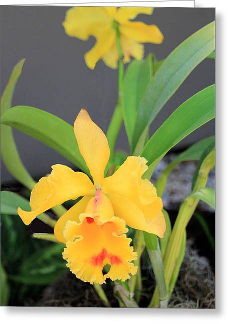 Yellow Cattleya Orchid Greeting Card by Rosalie Scanlon