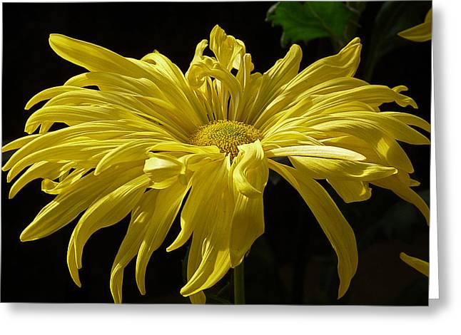 Yellow Chrysanthemum Greeting Card by Jennifer Nelson