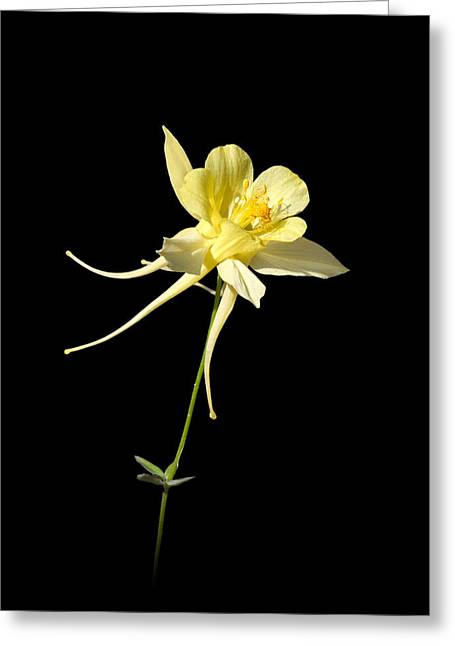 Yellow Columbine On Black Greeting Card