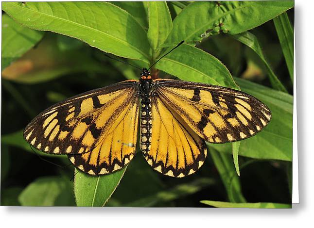 Yellow Coster Butterfly Manas Np India Greeting Card