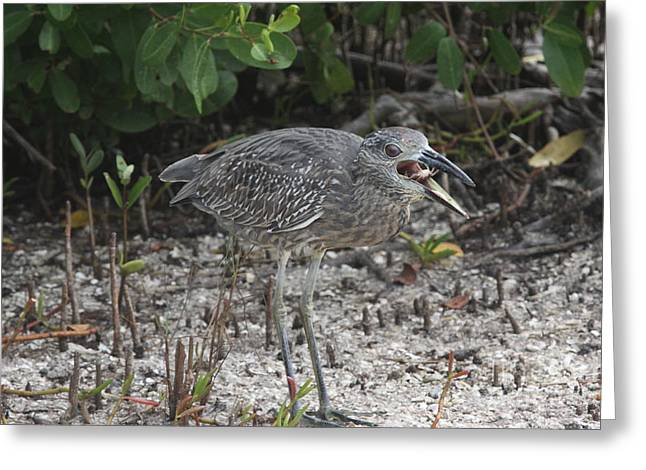 Yellow Crowned Night Heron Baby Eating Greeting Card by Christiane Schulze Art And Photography