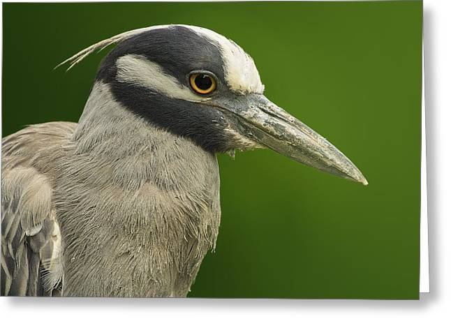 Yellow-crowned Night Heron Greeting Card by Bill Tiepelman