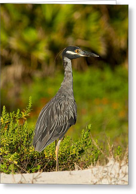 Yellow Crowned Night Heron Dune Watch Greeting Card