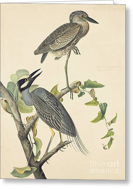 Yellow-crowned Night-heron Greeting Card by John James Audubon