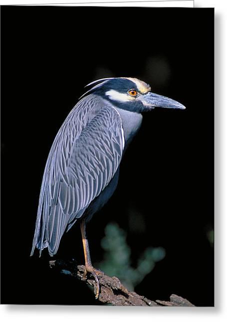 Yellow Crowned Night Heron Nycticorax Greeting Card