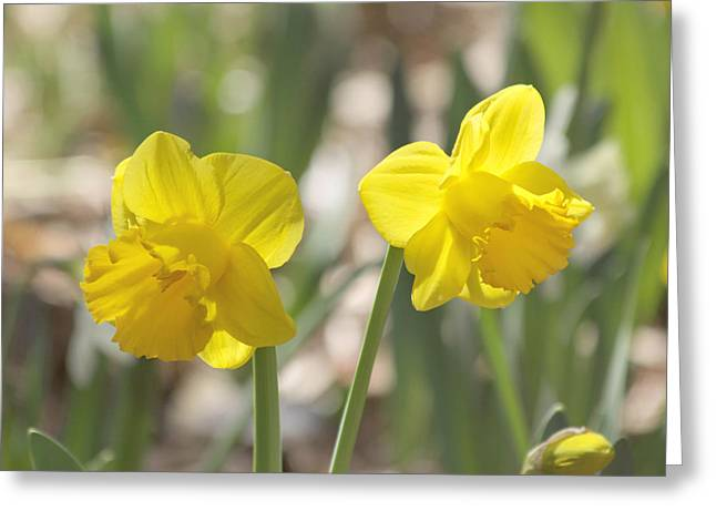 Yellow Daffodil Flowers Greeting Card