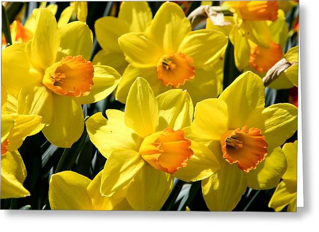 Yellow Daffodils Greeting Card by Menachem Ganon
