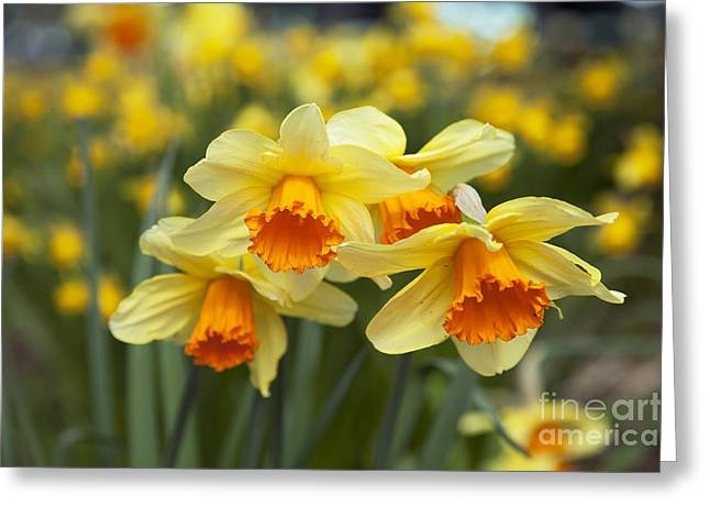 Yellow Daffodils Greeting Card by Peter French