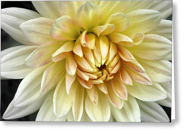 Greeting Card featuring the photograph Yellow Dahlia by Janice Drew