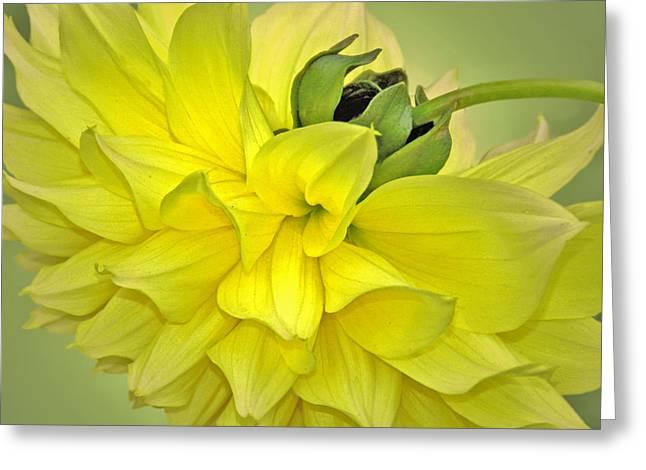 Yellow Dahlia Greeting Card by Nina Bradica