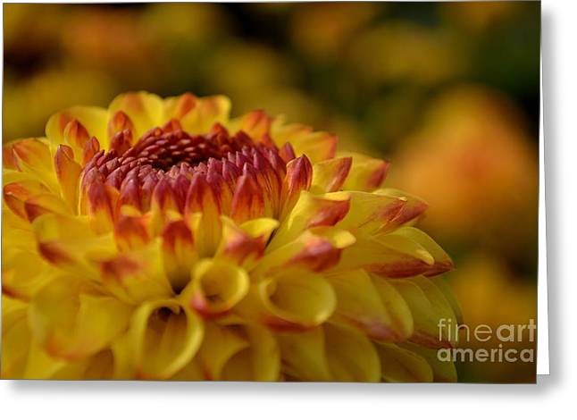 Yellow Dahlia Red Tips Greeting Card by Scott Lyons