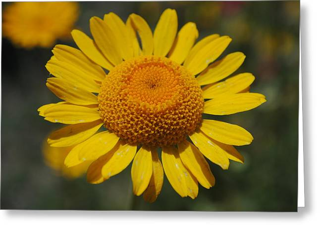 Greeting Card featuring the photograph Yellow Daisy  by Robert  Moss