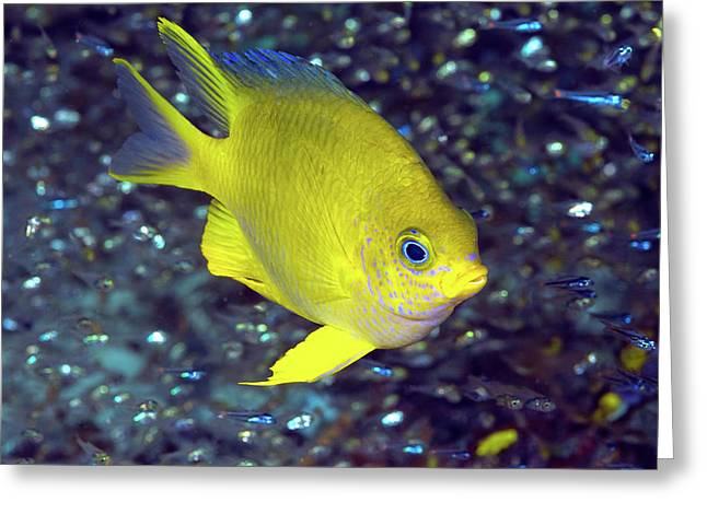 Yellow Damselfish Surrounded Greeting Card by Jaynes Gallery