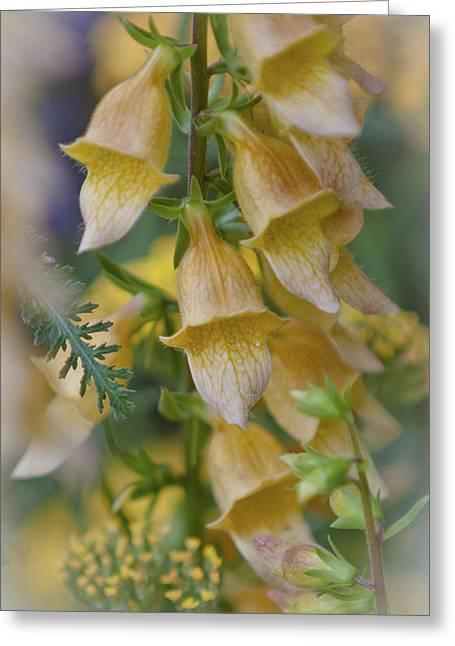 Yellow Digitalis Greeting Card by Maj Seda