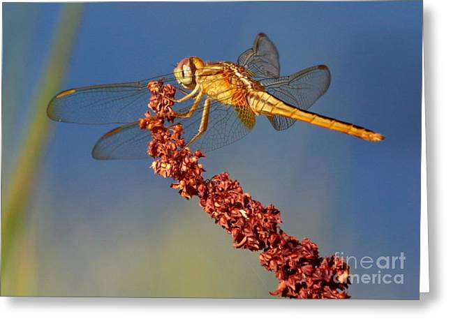 Yellow Dragonfly On Brown Reed Greeting Card by Carol Groenen