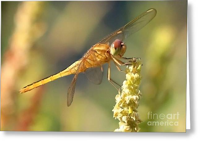 Yellow Dragonfly On Yellow Reed  Greeting Card by Carol Groenen