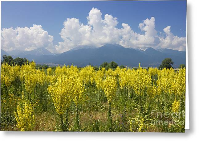 Yellow Field Of Mullein With Pirin Mountains Greeting Card by Kiril Stanchev