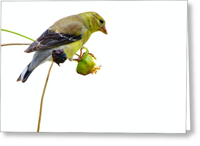 Yellow Finch Greeting Card by Alexey Stiop