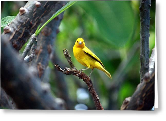 Yellow Finch Greeting Card