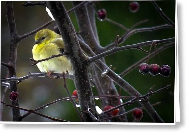 Yellow Finch Greeting Card by Karen Wiles